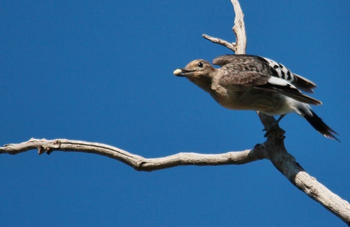 Red-headed Woodpecker juvenile (4) (1024x667)