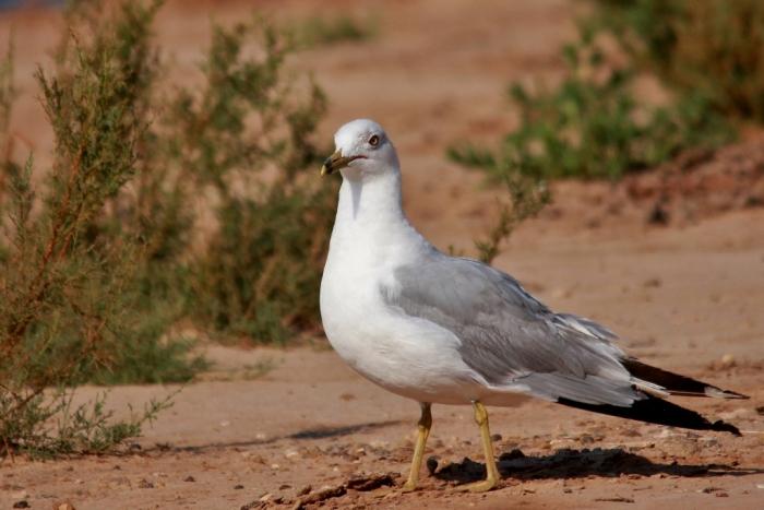 Ring-billed Gull (22) (1024x684)