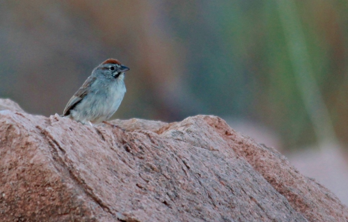 rufous-crowned-sparrow-49-1024x654