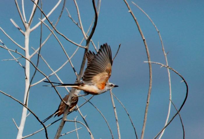 Scissor-tailed Flycatcher (2) (1024x699)