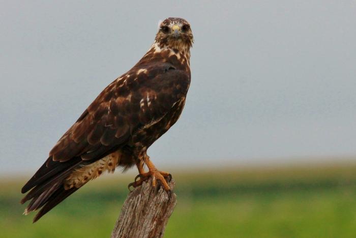 Swainson's Hawk intermediate morph juvenile (5) (1024x684)
