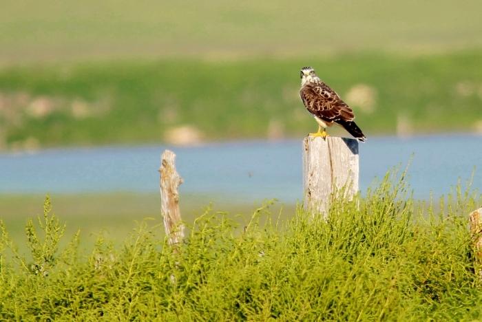 Swainson's Hawk juvenile (3) (1024x686)
