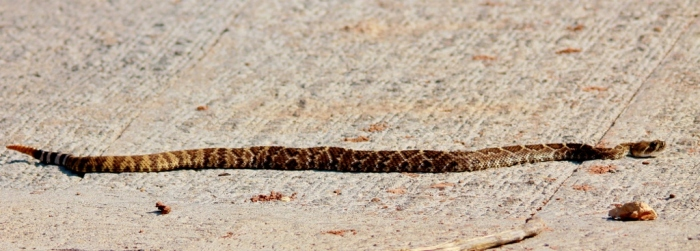 Western Diamondback Rattlesnake (1024x368)