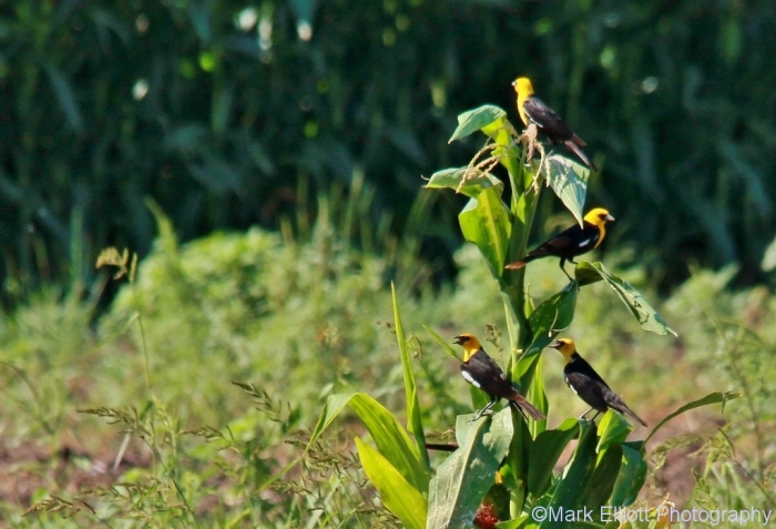 yellow-headed-blackbird-18-1024x698