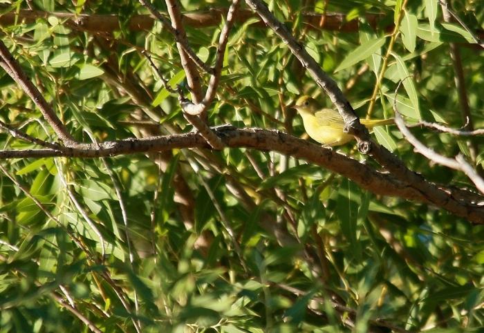Yellow Warbler female (2) (1024x706)
