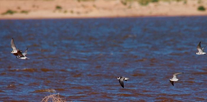 Black Tern, Forster's Tern (10) (1024x505)