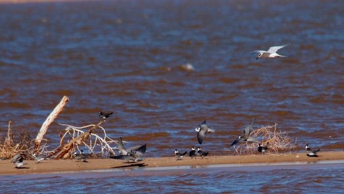Black Tern, Forster's Tern (7) (1024x580)