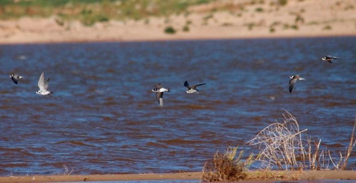 Black Tern, Forster's Tern (9) (1024x527)
