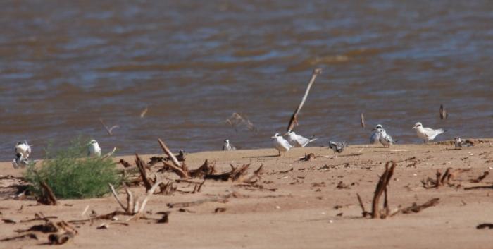 Common Tern, Forster's Tern, Black Tern (2) (1024x517)