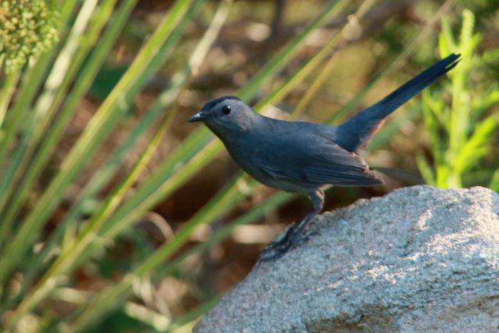 Gray Catbird (4) (1024x684)