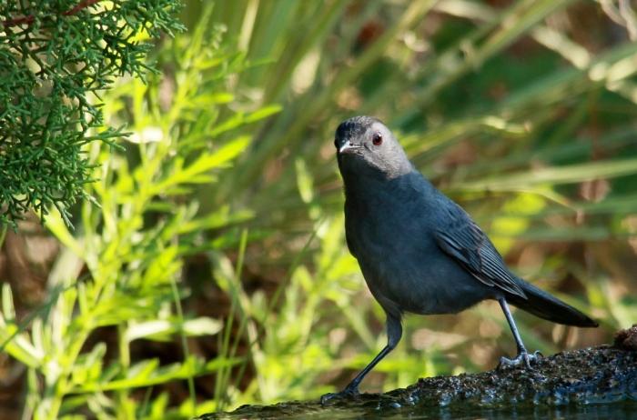 Gray Catbird (8) (1024x677)