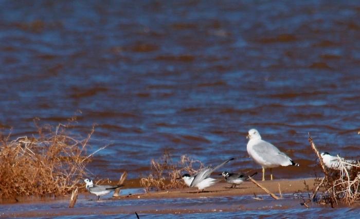 Ring-billed Gull, Common Tern, Black Tern (4) (1024x624)
