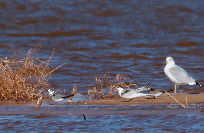 Ring-billed Gull, Common Tern, Black Tern (5) (1024x666)