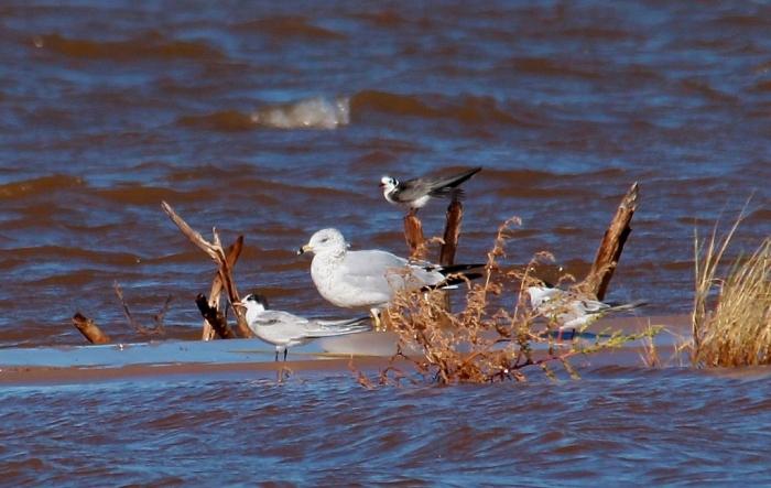 Ring-billed Gull, Common Tern, Black Tern (7) (1024x649)