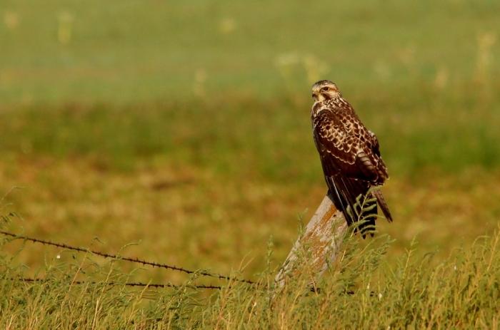 Swainson's Hawk (27) (1024x678)