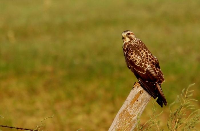 Swainson's Hawk (30) (1024x673)