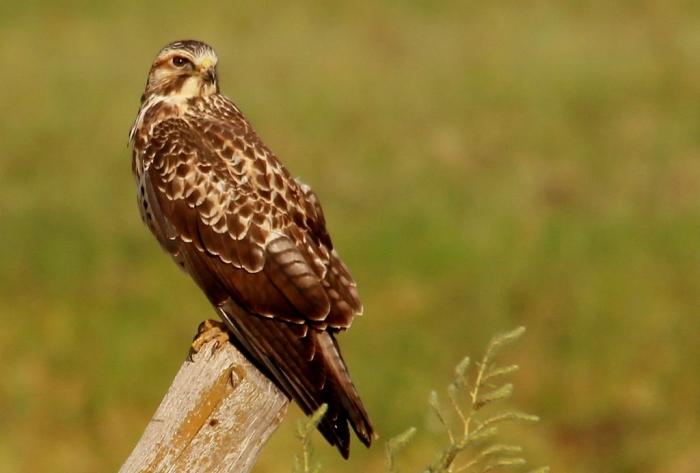 Swainson's Hawk (33) (1024x692)