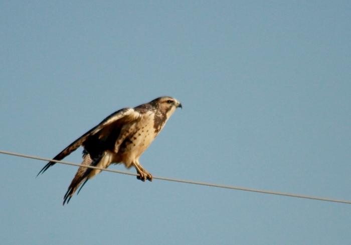 Swainson's Hawk juvenile (11) (1024x717)