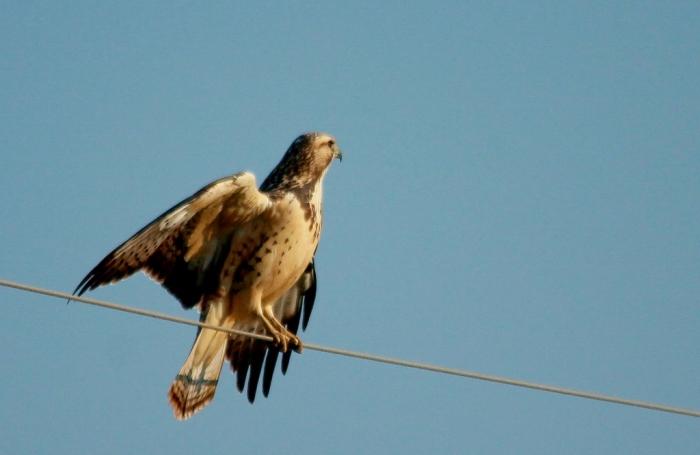 Swainson's Hawk juvenile (15) (1024x667)
