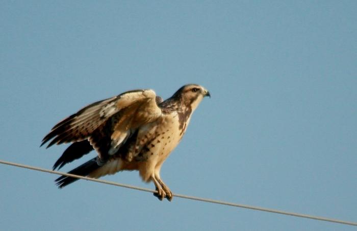 Swainson's Hawk juvenile (16) (1024x662)
