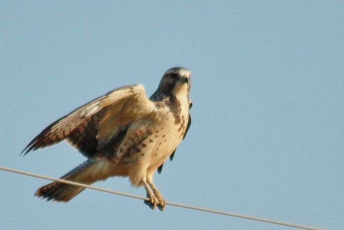 Swainson's Hawk juvenile (6) (1024x686)