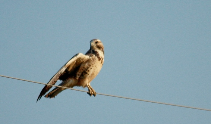 Swainson's Hawk juvenile (7) (1024x603)