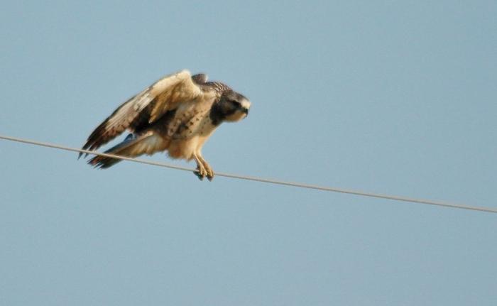 Swainson's Hawk juvenile (8) (1024x631)