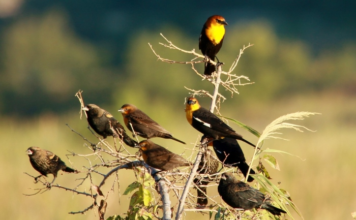 Yellow-headed Blackbird, Red-winged Blackbird (10) (1024x634)