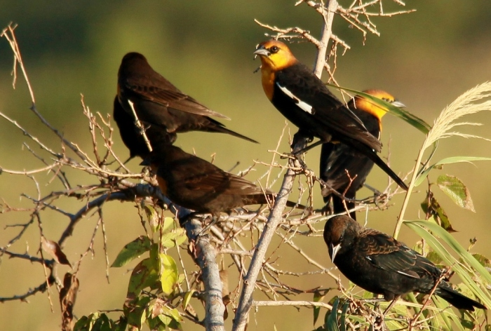 Yellow-headed Blackbird, Red-winged Blackbird (7) (1024x691)