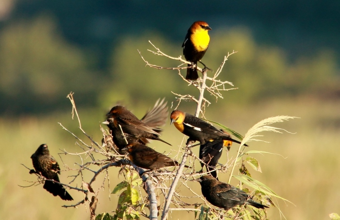 Yellow-headed Blackbird, Red-winged Blackbird (8) (1024x663)