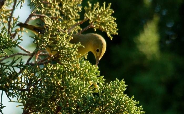 Yellow Warbler (1024x638)