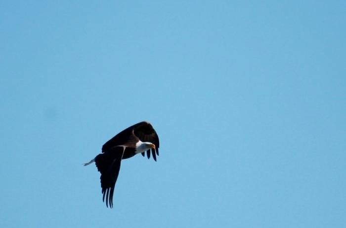Bald Eagle (390) (1024x678)