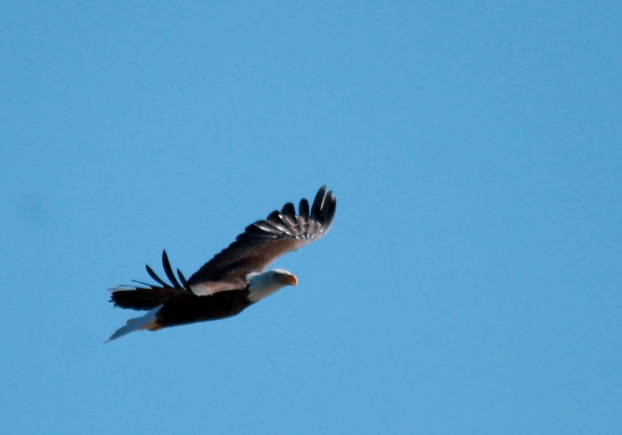 Bald Eagle (392) (1024x716)