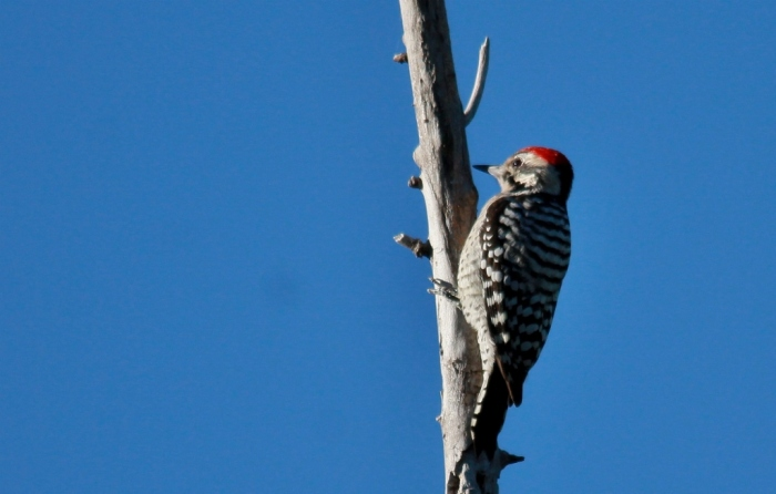 Ladder-backed Woodpecker (135) (1024x653)