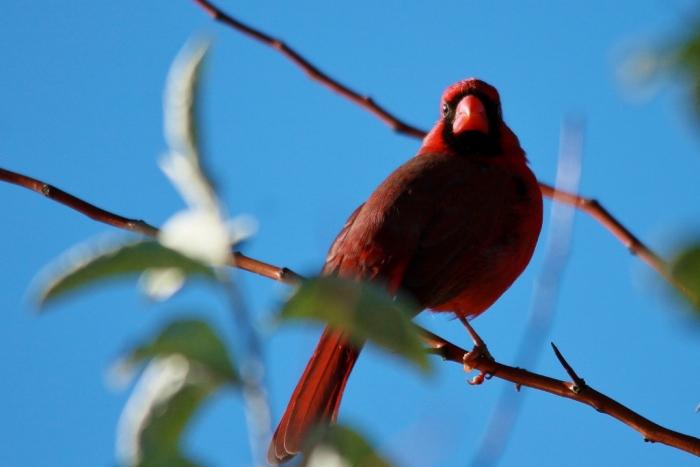 Northern Cardinal (64) (1024x684)