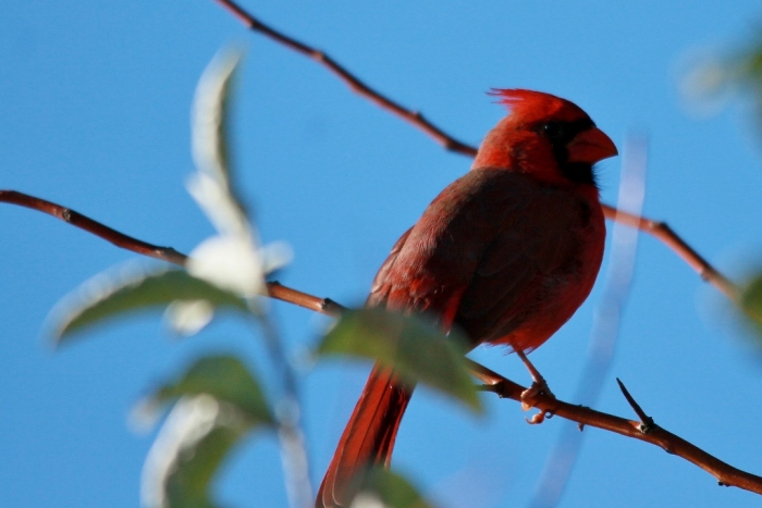 Northern Cardinal (65) (1024x684)