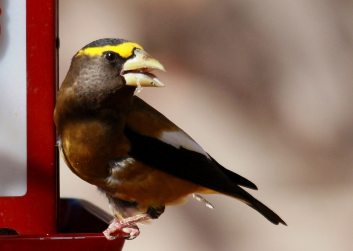 Evening Grosbeak (9) (1024x729)