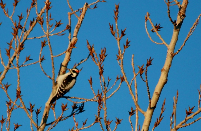 Hairy Woodpecker (2)