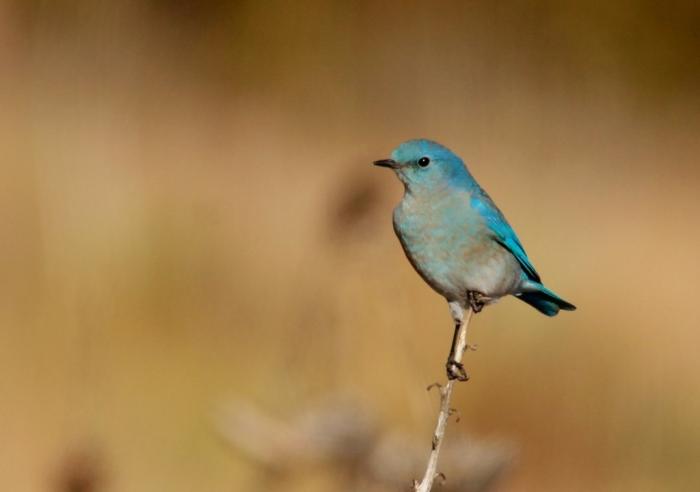 Mountain Bluebird (21) (1024x721)