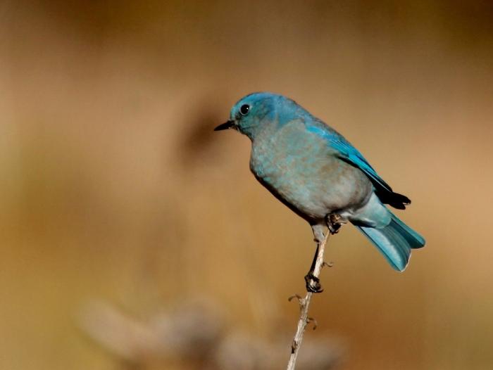 Mountain Bluebird (24) (1024x770)