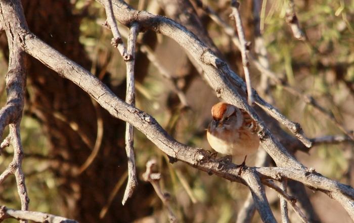 American Tree Sparrow (8) (1024x648)