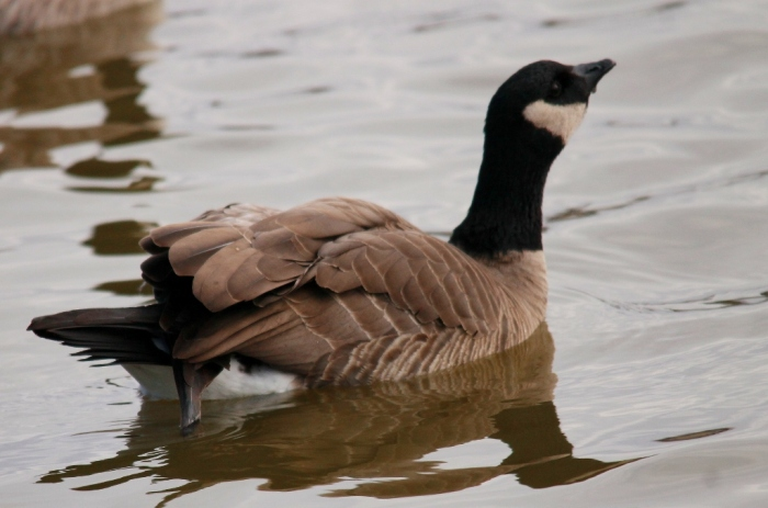 Cackling Goose (1024x678)