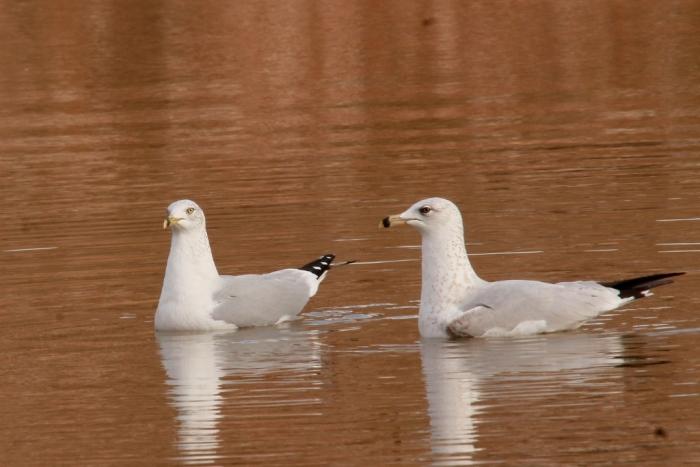 Ring-billed Gull (30) (1024x684)