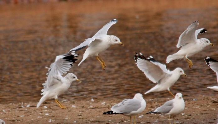 Ring-billed Gull (32) (1024x585)