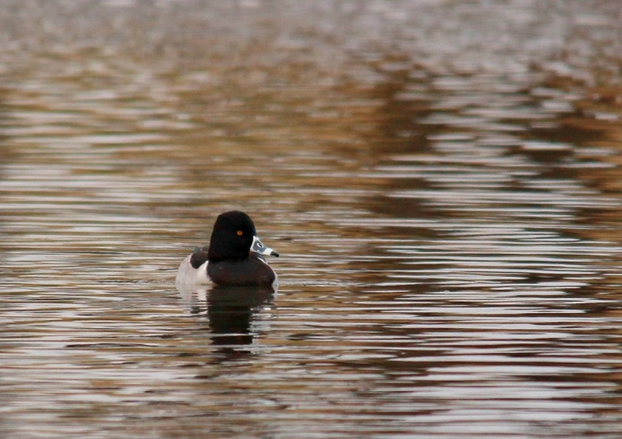Ring-necked Duck (22) (1024x725)