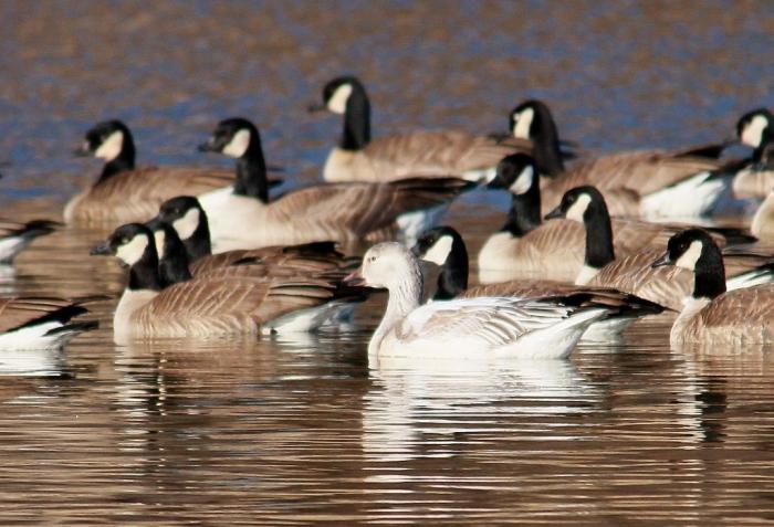 Snow Goose, Cackling Goose (1024x699)