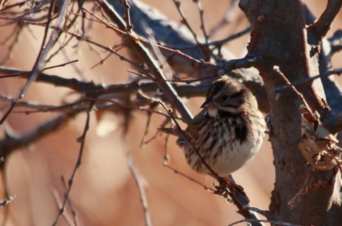 Song Sparrow (49) (1024x676)