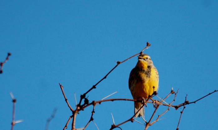 Western Meadowlark (39) (1024x613)
