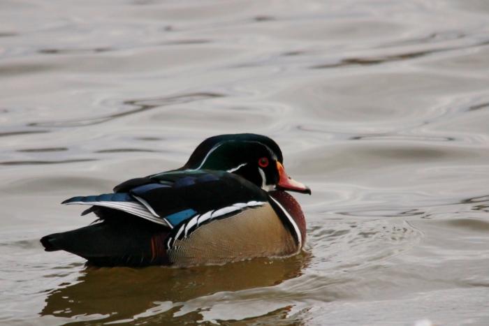 Wood Duck (13) (1024x684)
