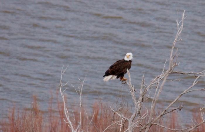 Bald Eagle (404) (1024x659)